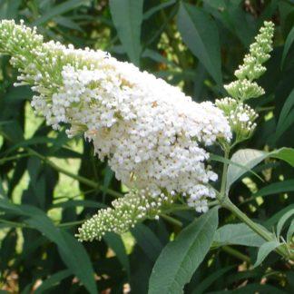 Witte-Vlinderstruik-Buddleja-davidii-White-Profusion