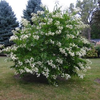 Zevenzonenboom-Heptadocium-miconioides