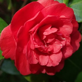 Rode-camellia-Camellia Japonica-Dubb