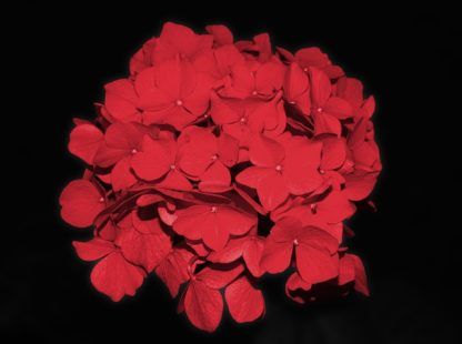 doorbloeiende-rode-hortensia-hydrangae-macrophylla-forever-ever-red