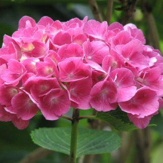 laagblijvende roze hortensia - hydrangae-macrophylla little pink