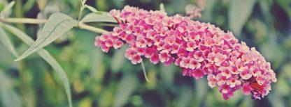 roze vlinderstruik - buddleja davidii pink delight