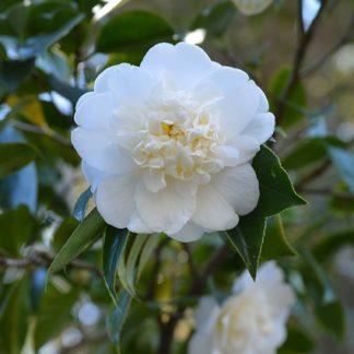 witte-camellia-camellia-japonica-dubbel-wit