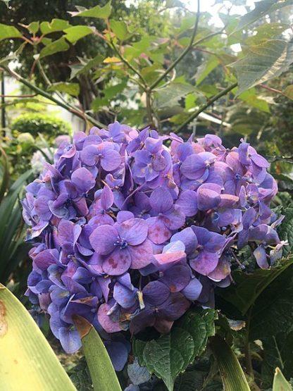 Laagblijvende-paarse-hortensia-hydrangea_macrophylla-little-purple