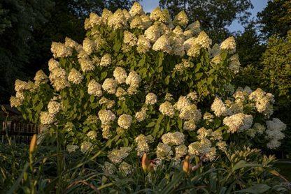 Lichtgele pluimhortensia-Hydrangea paniculata Limelight