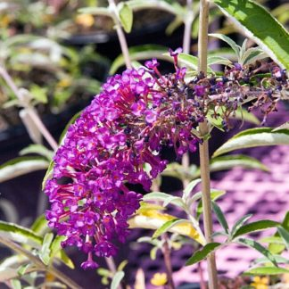 Rode-Vlinderstruik-Buddleja-davidii-Royal-Red