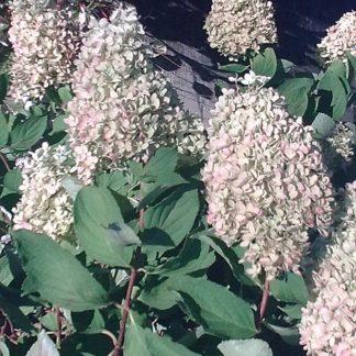 Wit-roze-pluimhortensia-Hydrangea_paniculata_Sunday-fraise.