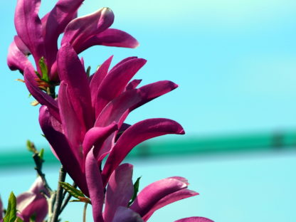 donkerroze-magnolia-magniolia-susan