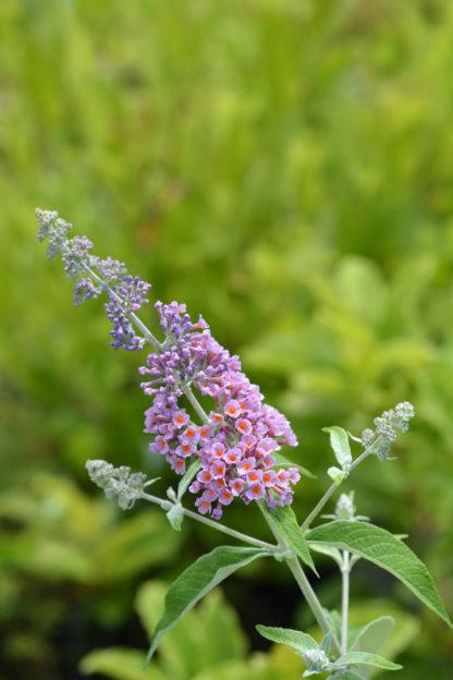 driekleurige vlinderstruik buddelja weyeriana flower power