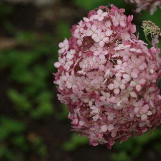 lichtroze-hortensia-annabella-hydrangae aborescens sweet annabelle