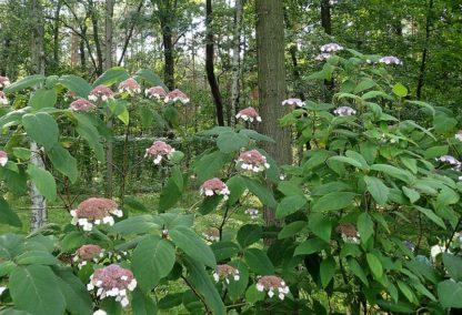 paarsbruine-fulweelhortensia-Hydrangea_aspera macrophylla