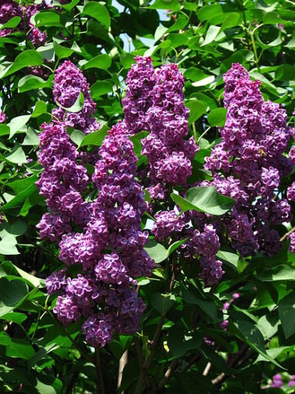 paarse-sering-Syringa_vulgaris-Andenken_an_Ludwig_Spath