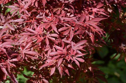 rode-Japanse-esdoorn-Acer_palmatum_Shaina
