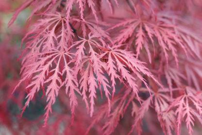 roze-japanse-edsoorn-acer-palmatum-taylor.