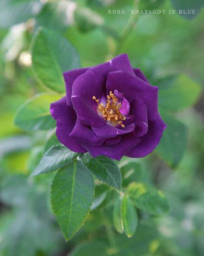Geurende-dieppaarse-roos-Rosa-Rhapsody-in-Blue