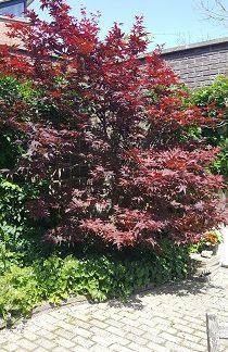apanse-esdoorn-Acer-palmatum-altropurpureum
