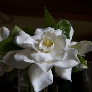 witte-Kaapse-jasmijn-gardenia-crown-jewel.