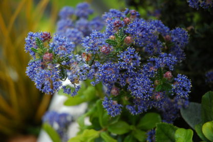 blauwbloeiende-amerikaanse-sering-Ceanothus_impressus_Puget_Blue