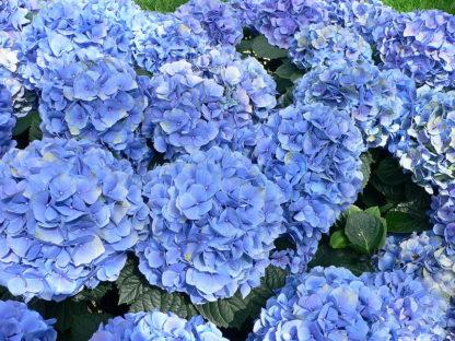 blauwe-boerenhortensia-Hydrangea_macrophylla-nikko-blue