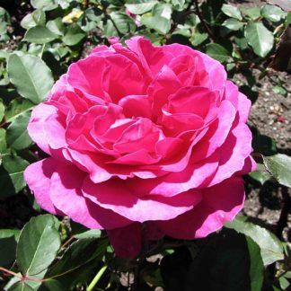 geurende-magentapaarse-roos-rosa-blackberry-nip