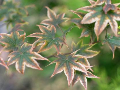 roze-groenbladige-japanse-esdoorn-acer-palmatum-marlo