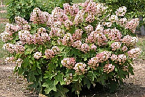 witroze-eikenbladhortensia-Hydrangea-Quercifolia-Munchkin